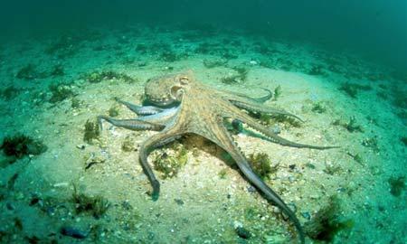 Octopusvulgaris