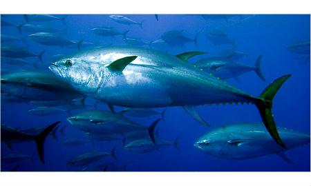 Vigo es líder mundial en conserva de atún