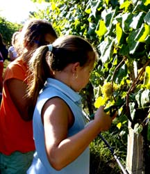 Recogieron unos 116 kilos de uva.