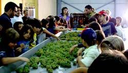 Los 50 escolares provaron el mosto hecho con la uva que habían recogido.
