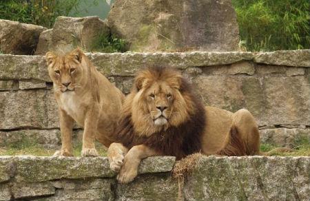 leones/VZ