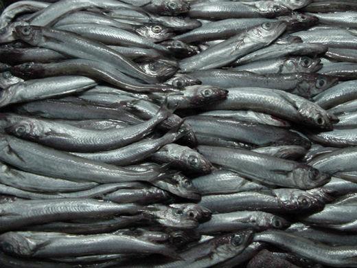 Pillan 8 toneladas de bacaladilla en un pesquero atracado en Ribeira