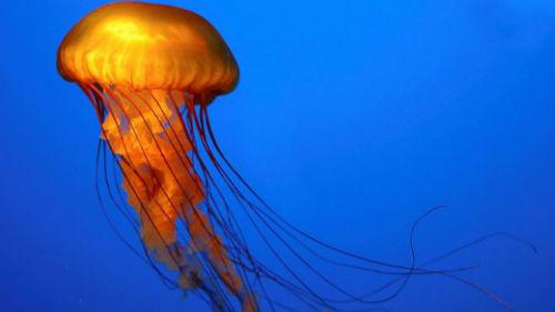 La FAO recomienda elaborar productos alimenticios a partir de medusas