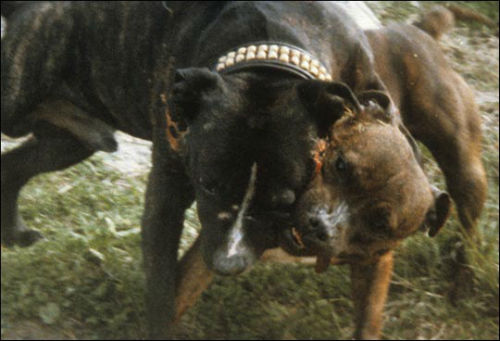 O presidente da Protectora de Lugo alerta do roubo de cans para facer pelexas