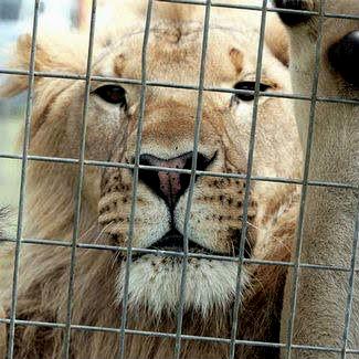 Denuncian que os leóns dun circo instalado en Mos teñen que soportar noites de 2 graos pechados en gaiolas minúsculas