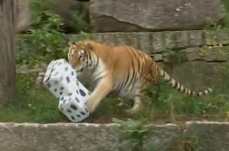 Os veterinarios do VigoZoo sacrifican á tigresa Duches para evitar o seu sufrimento