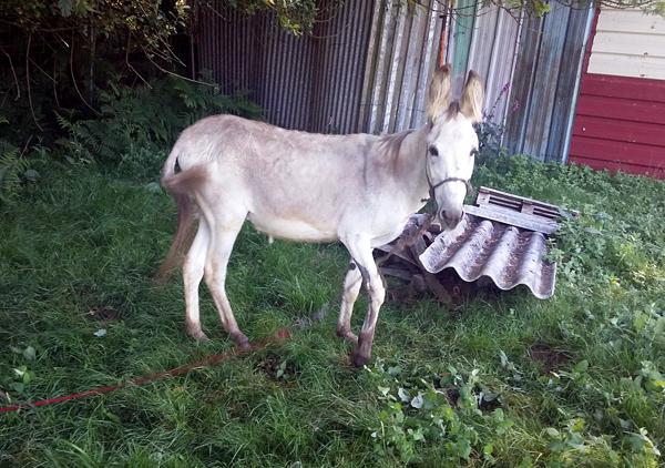 Buscan al propietario de un burro que vagaba por la carretera en Zamáns