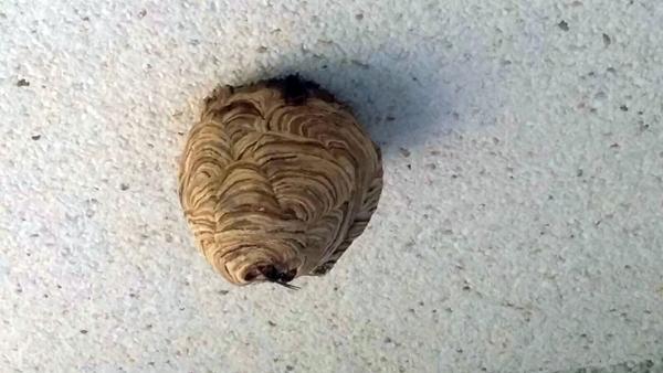 Retirado un nuevo nido de vespa velutina en San Andrés