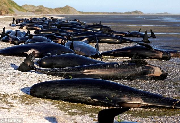 Mueren más de la mitad de las 650 ballenas que encallaron en la Isla Sur de Nueva Zelanda