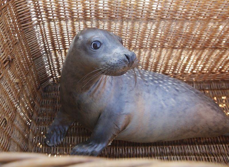 'Luceiro' a cría de lobo mariño rescatada o pasado mes de decembro xa está de volta no mar