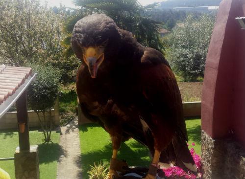 Capturada en Vigo un 'Águila Harris' que había matado a varias gallinas de una vecina de Camiño Ameal