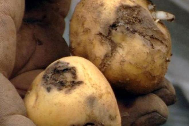 Convocadas as axudas pola destrución da pataca afectada pola couza guatemalteca