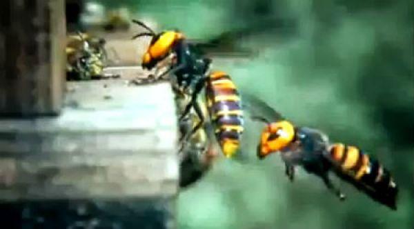 O Concello de Redondela retirou preto dun cento de niños de vespa velutina dende o pasado mes de xuño
