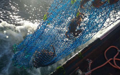 Incautados preto de 200 quilos de marisco, a maioría centola e nécora, na Illa e na Ría de Pontevedra