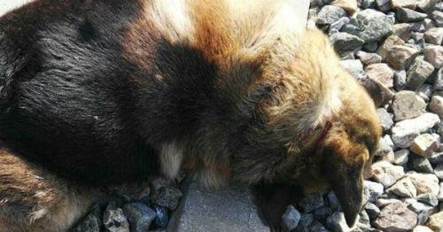 @PartidoPACMA denuncia la muerte de 20 perros atados a las vías del tren