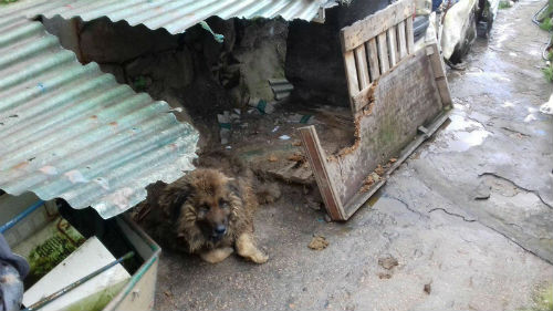 @LiberaONG y Fundación Franz Weber critican la indiferencia del Concello ante un perro que lleva encadenado alrededor de 7 años