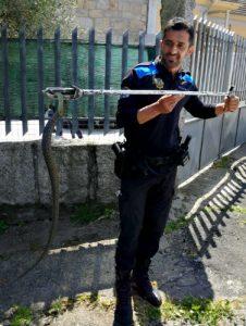 Agentes de la Policía Local retiran una 'serpiente bastarda' que estaba en un árbol cerca de Castrelos
