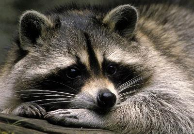 Un mapache de los que no hay en el Zoo de A Madroa