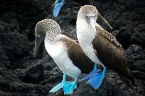 Piquero de patas azules