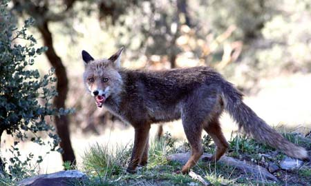 En Galicia hay casi 3 zorros por hectárea.