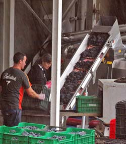 En total se han recogido 160 toneladas de uva negra. Foto: Tresyuno Comunicación.