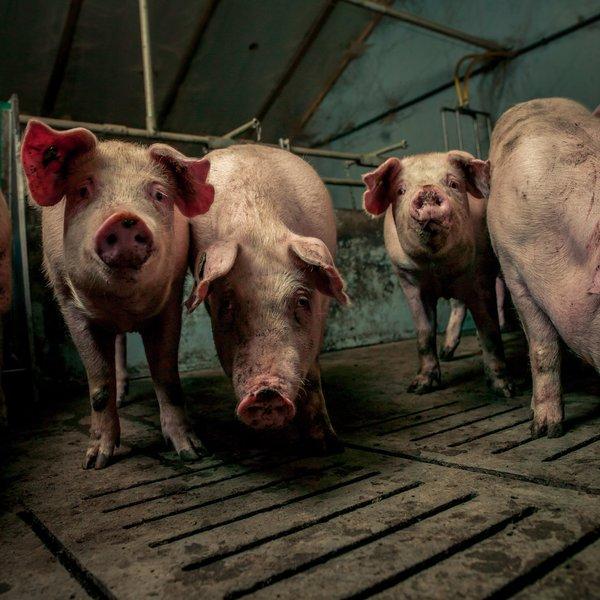 Porcos/cerdos