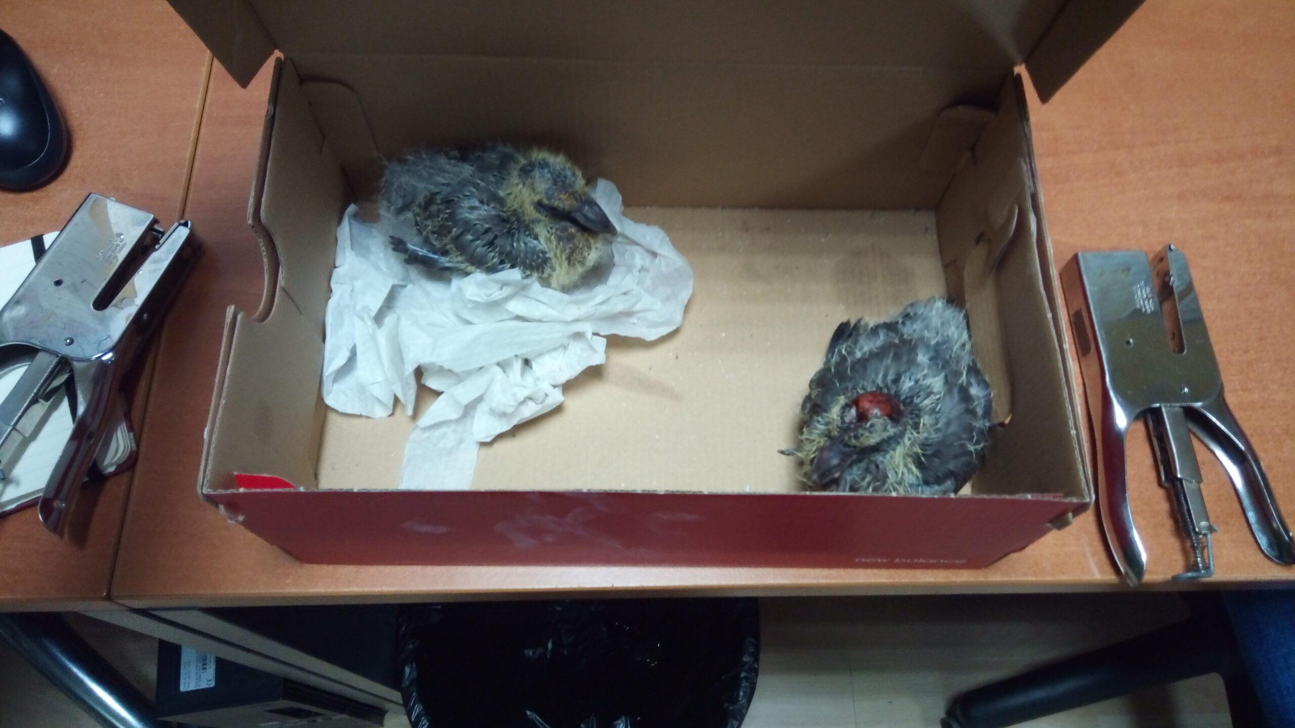 Crías de ave Vigo
