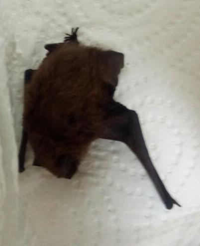 Recuperado un murciélago en una vivienda de Vigo