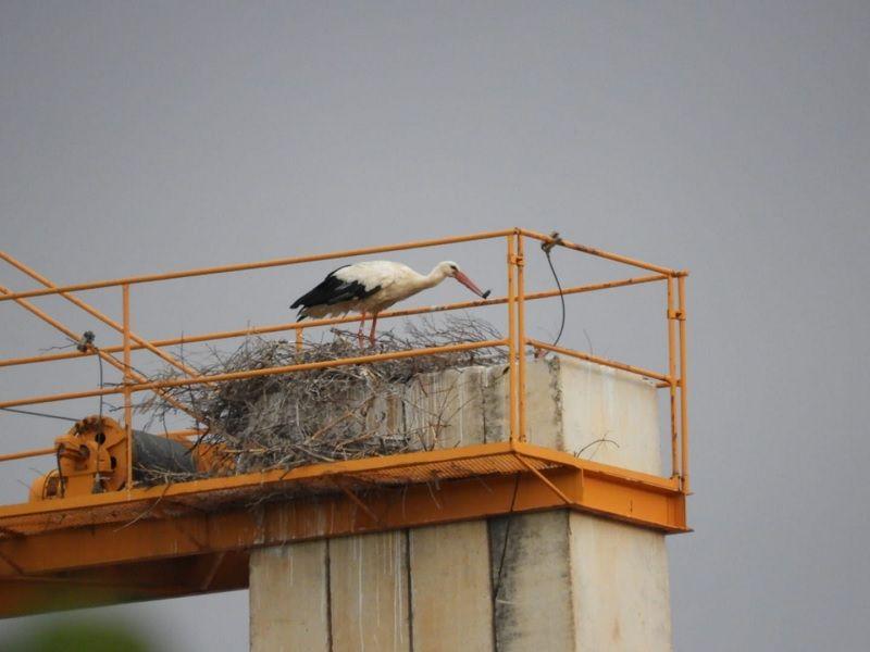 Muere el último de los polluelos de las cigüeñas que anidaron en Ourense