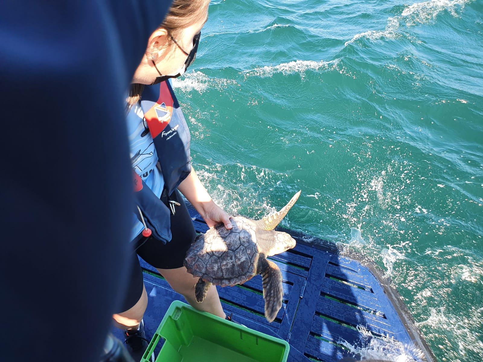 A tartaruga atopada en abril en Cariño, volve ao mar