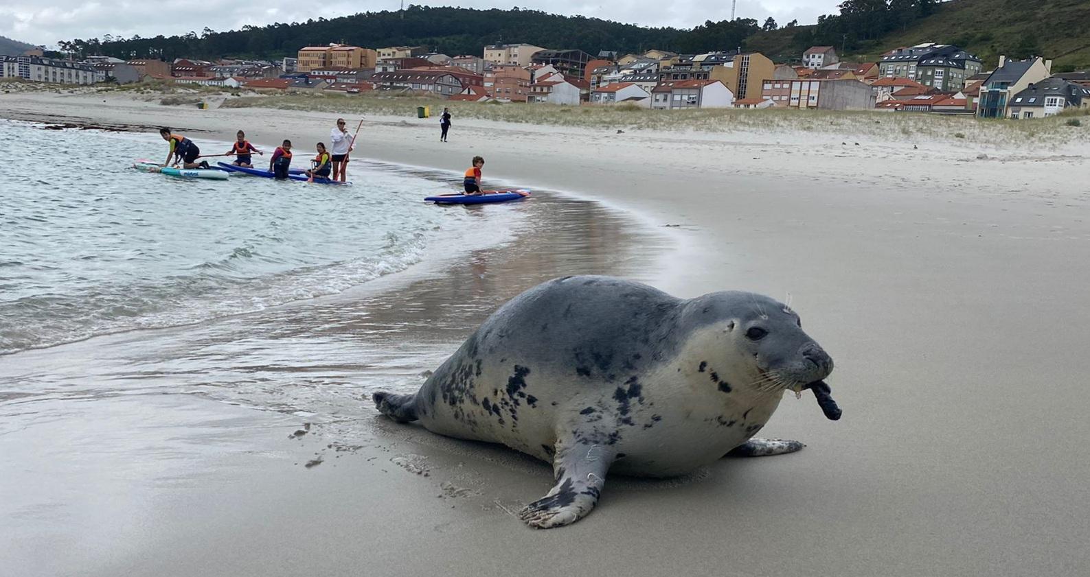 Una cría de león marino de 'veraneo' en Galicia