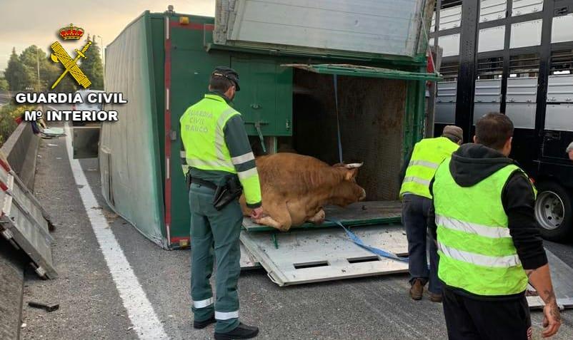 Cortan dos carriles de la A-55, dirección Vigo, tras volcar un camión con ganado