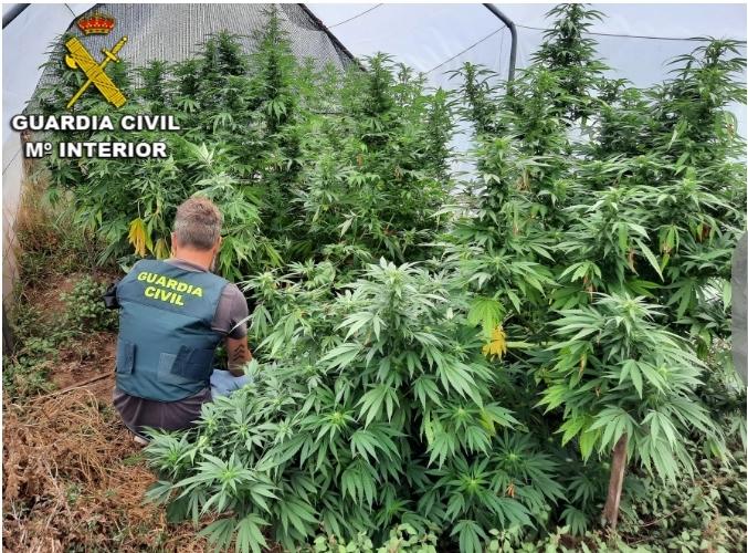 La Guardia Civil interviene cuatro plantaciones de marihuana en O Baixo Miño